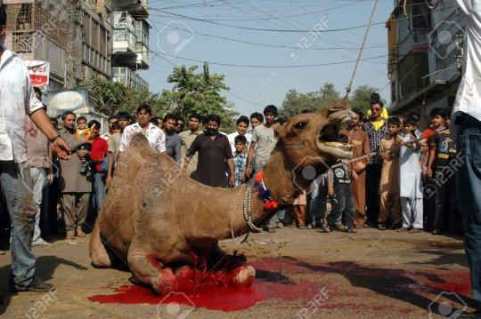 camel-slaughter-cpkrvwvuaaay46a